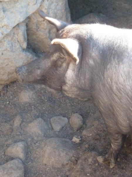 Cerdo (Senderismo Los Vettones)