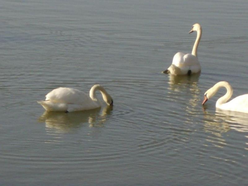 Cisnes (Senderismo Los Vettones)