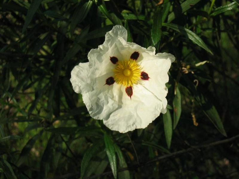Flor de Jara (Senderismo Los Vettones)