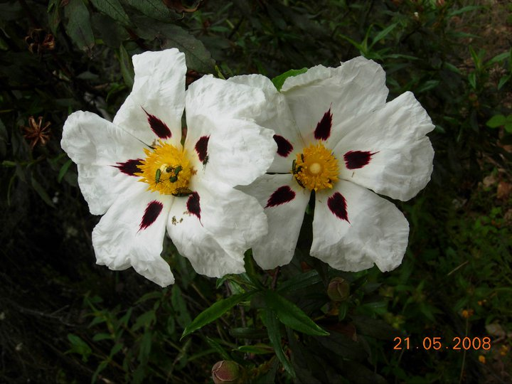 Flor de Jara (Marisol)