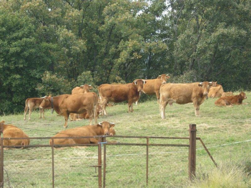 Vacas (Senderismo Los Vettones)